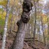 305_Ancient chestnut oak_large 7