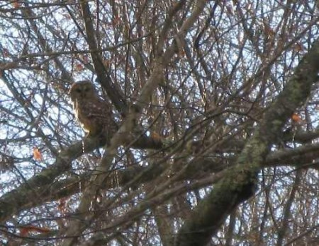 324_Kitchen Creek Owl_large 30