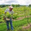 Mr. Skeens prunes over 9000 plants each spring.