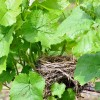 Spring at Watts Roost, The tiny grapes are set and the birds nested.