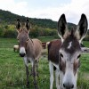 How bout them ears! Donkeys, Jenny & Ruth, call Watts Roost home.
