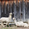 Alpaca wool is in high demand.