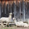 Alpaca wool is in high demand.