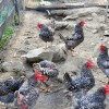 Barred Plymouth Rock chickens are part of the farms sustainability program.
