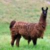"""""""Big Boy"""" llama keeps watch over the sheep."""