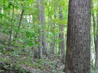 HAMILTON FOREST <br /> 247 +/- ACRES