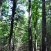 Gap Mountain Forest 010